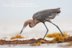 Reddish Egret searchs for prey