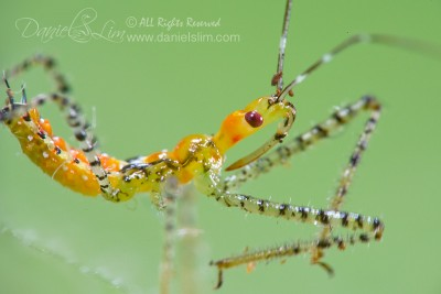 Immature Sycamore Assassin Bug (Pselliopus genus)