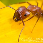 Up close with Fire Ant
