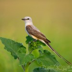 Scissor-tailed Flycatcher on a Perch