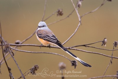 Scissor-tailed Flycatcher in the Rain