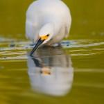 Snowy Egret hunts for fish
