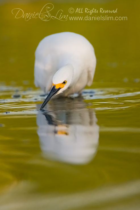 Snowy Egret hunts for fish