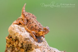 Texas Horned Lizard aka Horny Toad