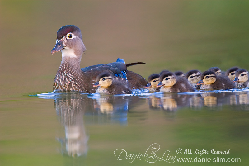 American Wood Duck - Mom and chicks