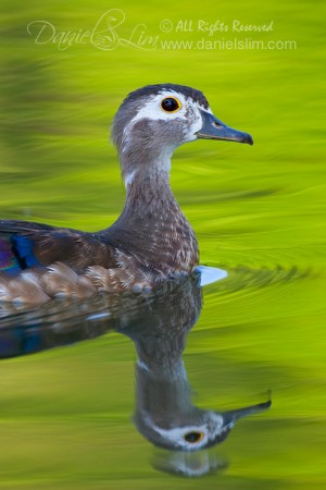 American Wood Duck Hen in Post-mating Molt