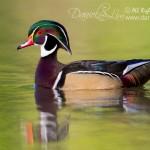 American Wood Duck Drake - 2012