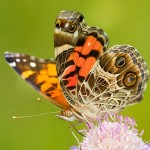 "An American Painted Lady on Scabiosa ""Butterfly Blue"""