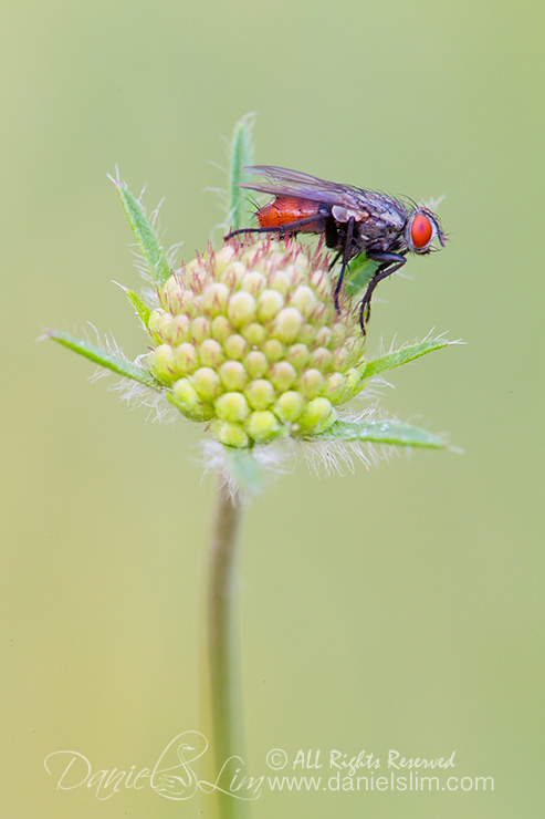 Fly on a Scabiosa bud