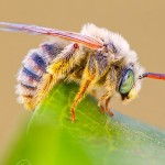 A male Long-Horned Bee