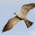 Mississippi kite In Flight with Cicada