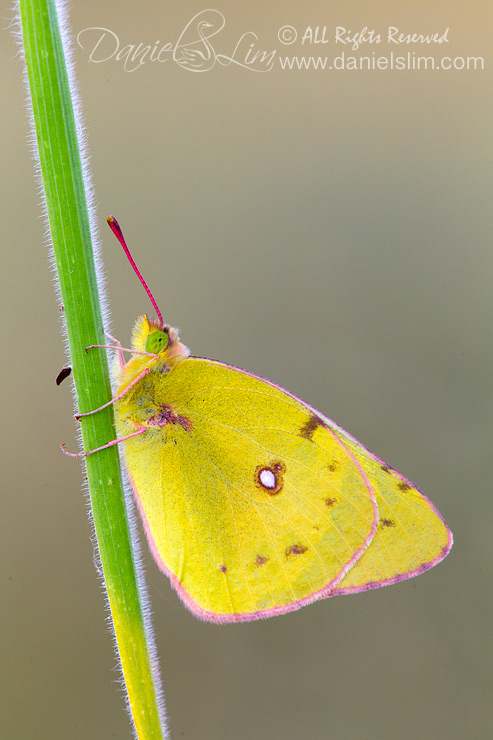 Orange Sulphur butterfly (Colias Eurytheme) Perched on a Grass