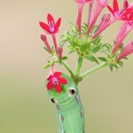 Tersa Sphinx Moth Caterpillar on Red Pentas