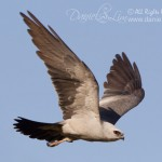 Mississippi Kite in Flight