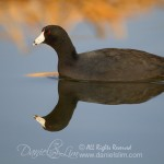 American Coot - Water Reflection