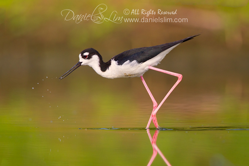 Black-necked Stilt in a Soft Morning Light
