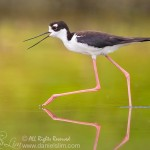 Black-necked Stilt with Open Bill