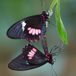 A Mating Pair of Common Cattleheart Butterflies