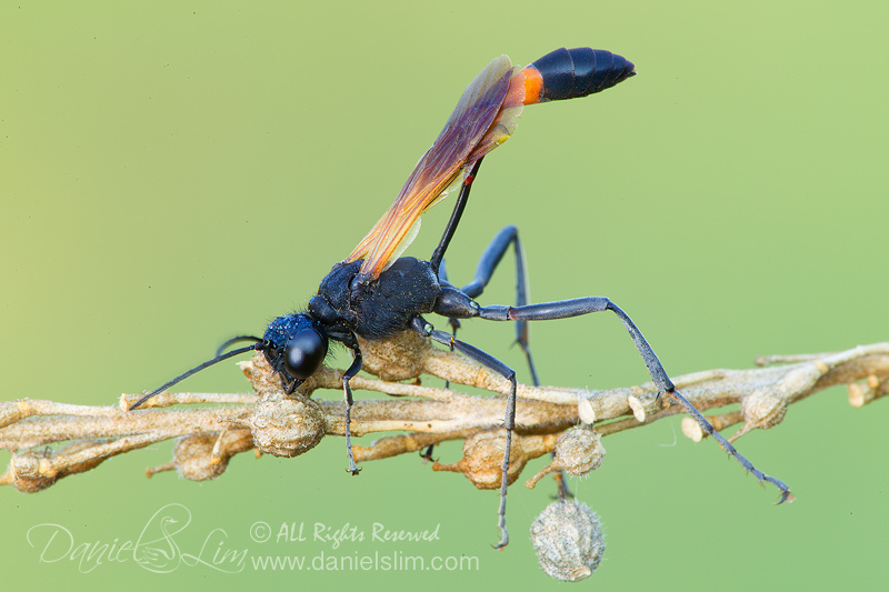 Red-banded Sand Wasp