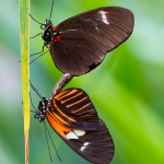Doris Longwing Butterflies Mating