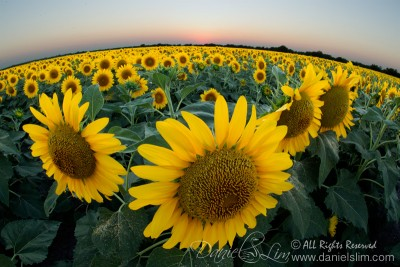 Bird's Eye View of the Sea of Sunflowers