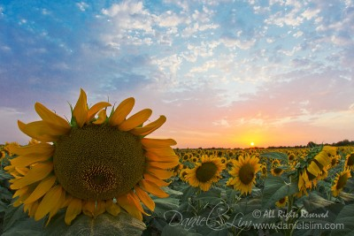 A Dream Sunset in Sunflower Field, Prosper Texas