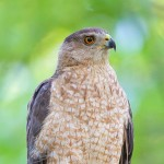 Female Cooper Hawk perches on a tree branch