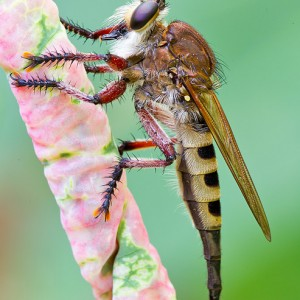 Giant Robber Fly (Promachus hinei)