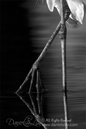 Great Egret Feet Reflection - Black and White