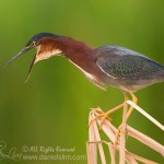 A perched Green Heron with mouth wide open
