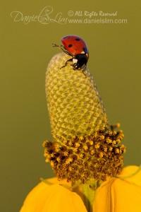 Sidekick Ladybug on a Coneflower