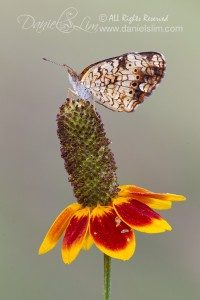 Phaon Crescent butterfly perches on a coneflower