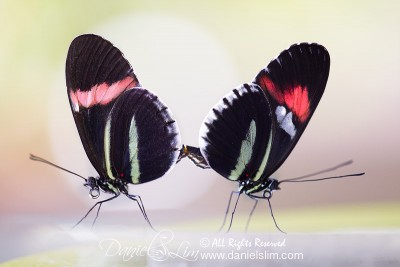 Pink and Red Postman Longwing Butterflies Mating