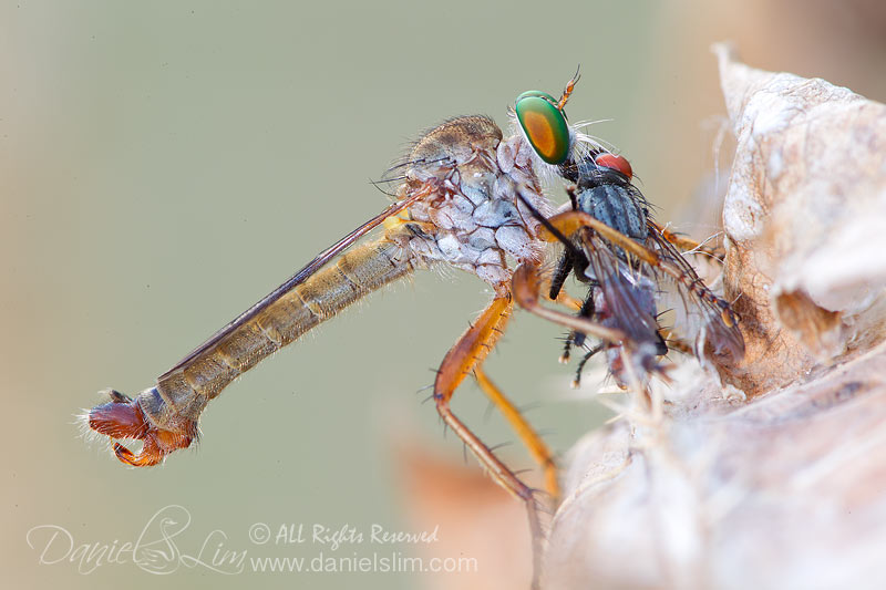Robber Fly Eating a Fly