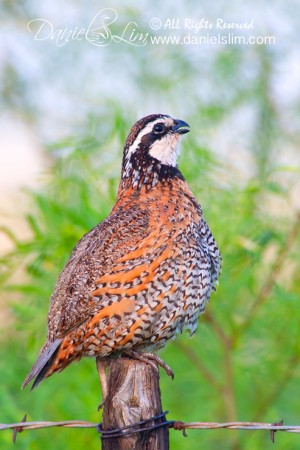 A Singing Northern Bobwhite Quail in the Morning