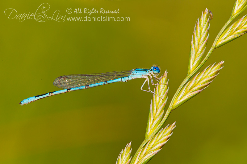 Springwater Dancer Damselfly