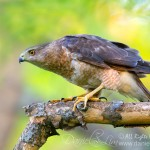 A Stalking Female Cooper Hawk
