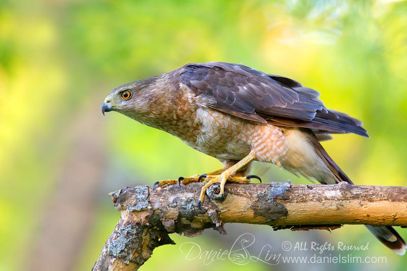 A Stalking Female Cooper Hawk