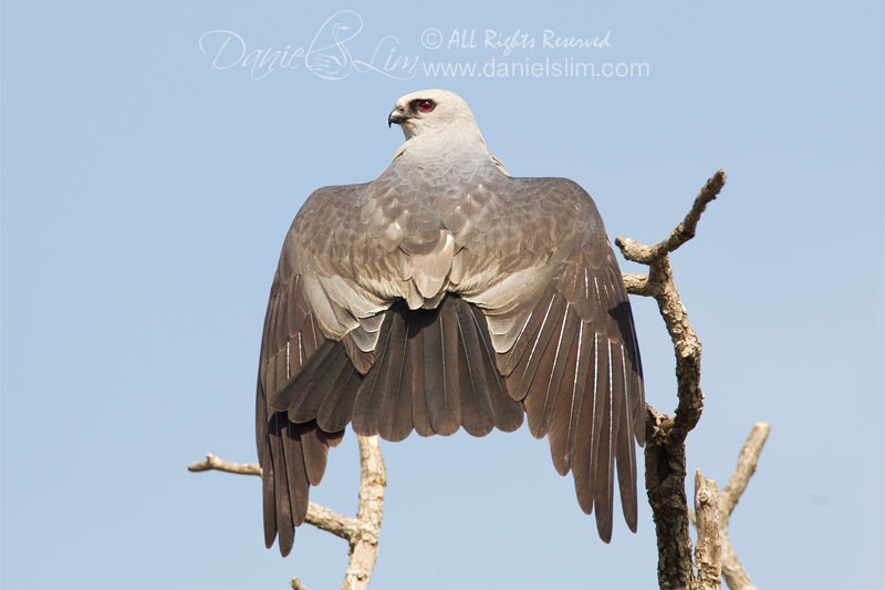 A sunbathing Mississippi Kite