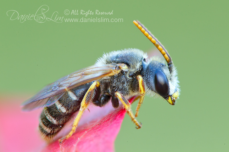 Sweat Bee (Halictus) on Red Leaf