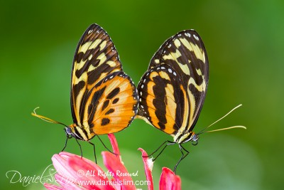 Tiger Longwing Butterflies Mating