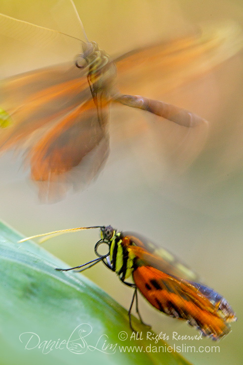 The Mating Dance of Tiger Longwing Butterfly