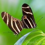 Zebra Longwing Butterfly Mating