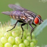 Common fly perched on Scabiosa bud