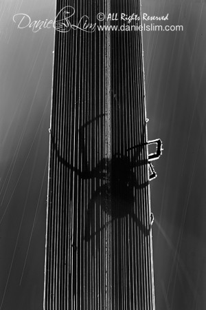 Backlit, Raindrops and a Spider