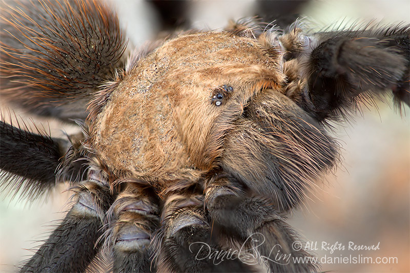 Wichita Mountains Red Tarantula - Close Up