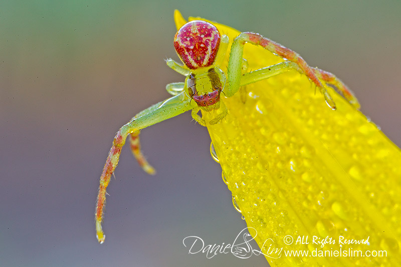 Flower spider -  Swift Crab Spider