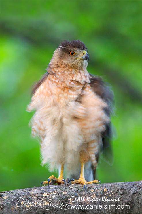 Female Cooper Hawk with Ruffled Feather
