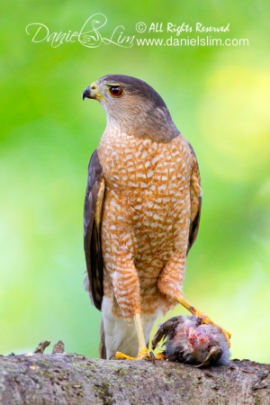 Male Cooper's Hawk with a Prey
