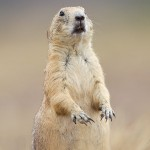Black-Tailed Prairie dog at Wichita Mountains